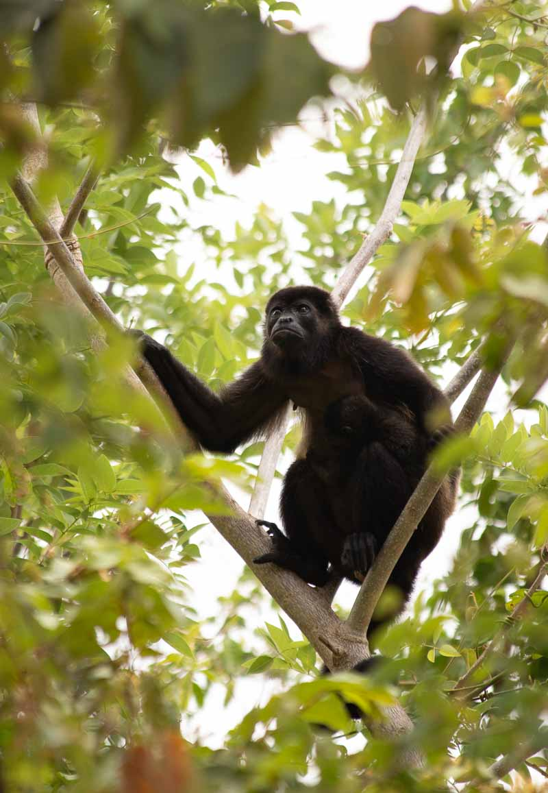 el mangroove costa rica howler monkey